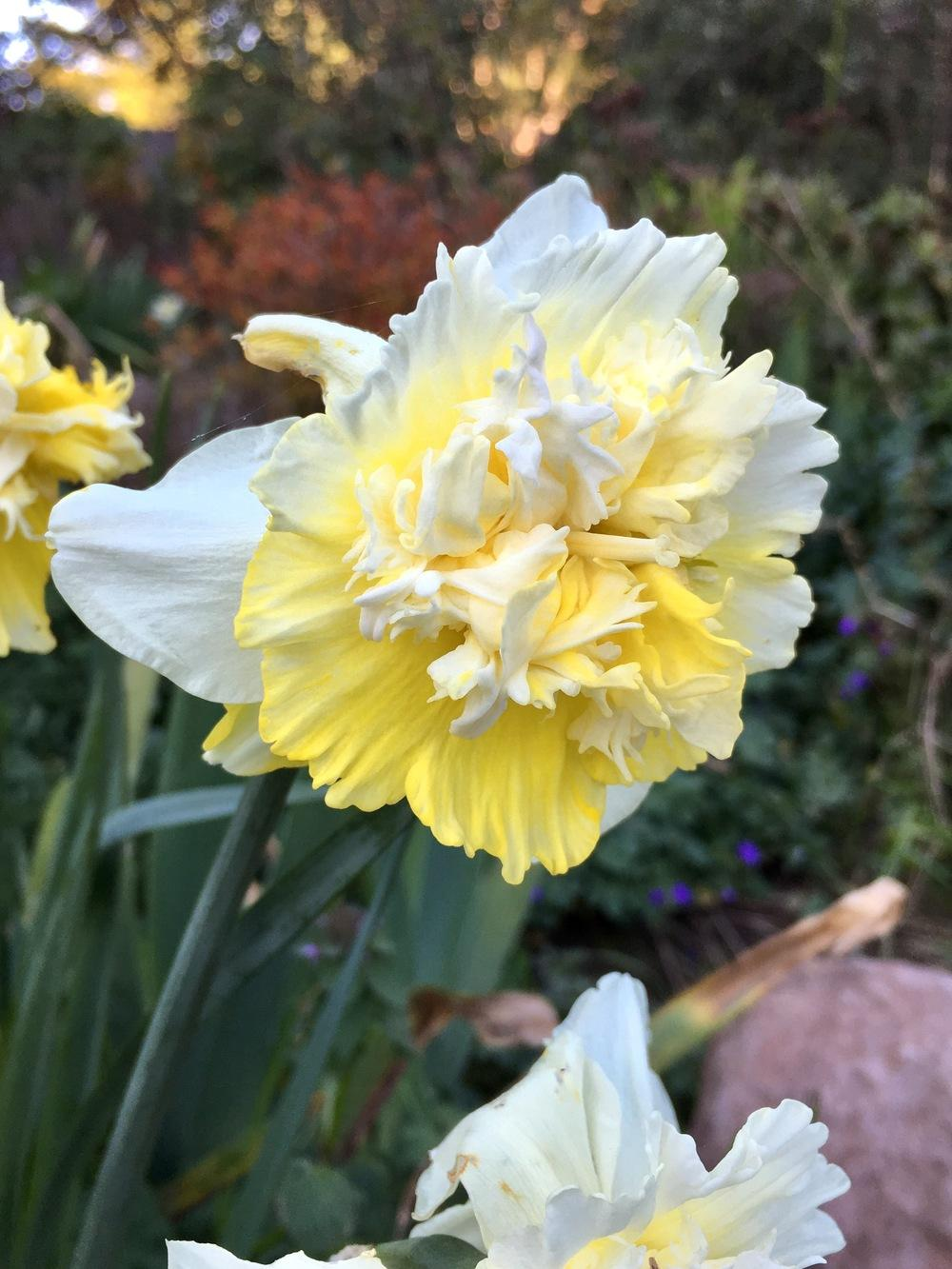 Photo of Double Daffodil (Narcissus 'Ice King') uploaded by Calif_Sue