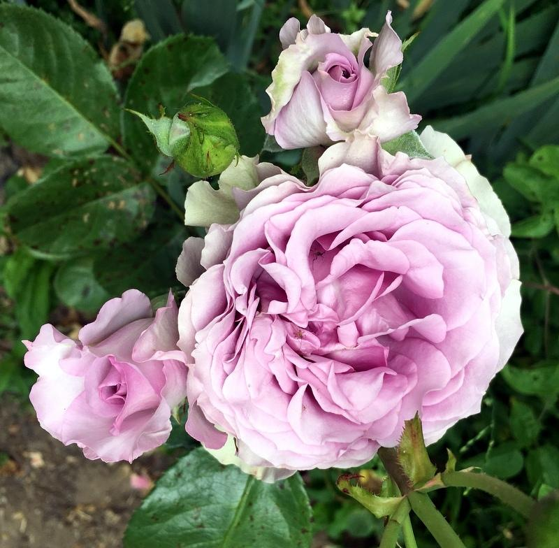 Photo of Rose (Rosa 'Quick Silver') uploaded by Calif_Sue