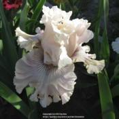 Location: Las Cruces, NMDate: 2017-04-23Tall Bearded Iris Haunted Heart