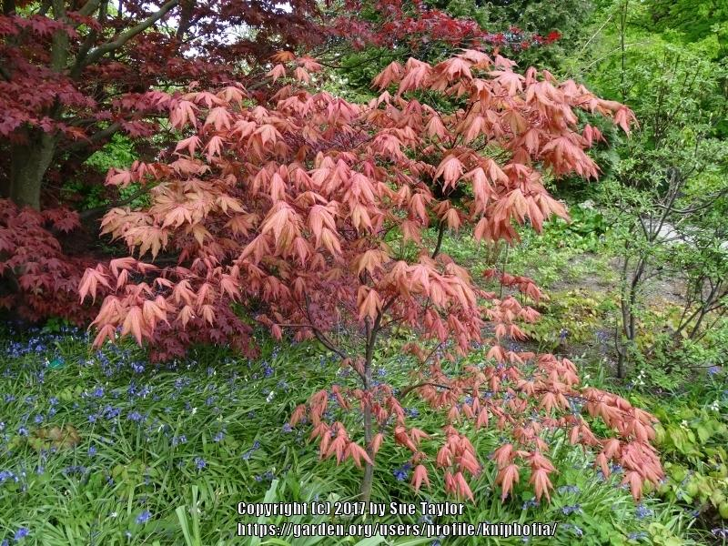 Photo Of The Entire Plant Of Japanese Maple Acer Palmatum Amber