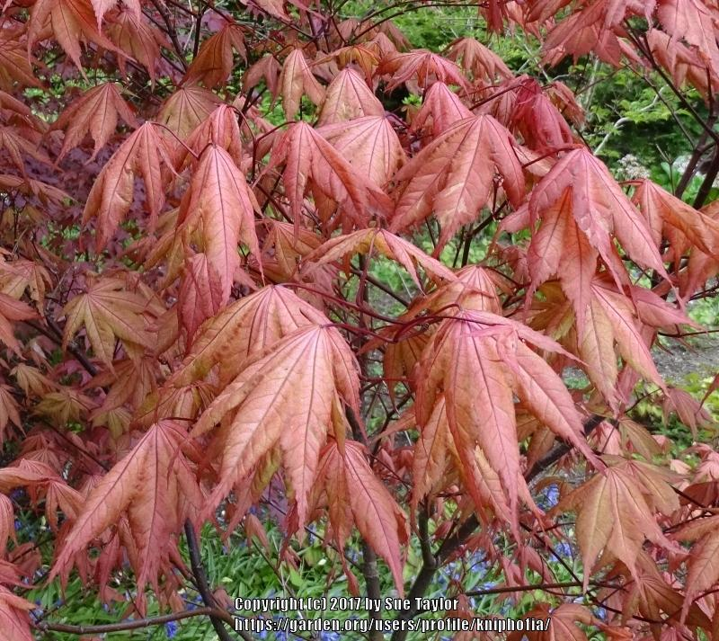 Photo Of The Leaves Of Japanese Maple Acer Palmatum Amber Ghost