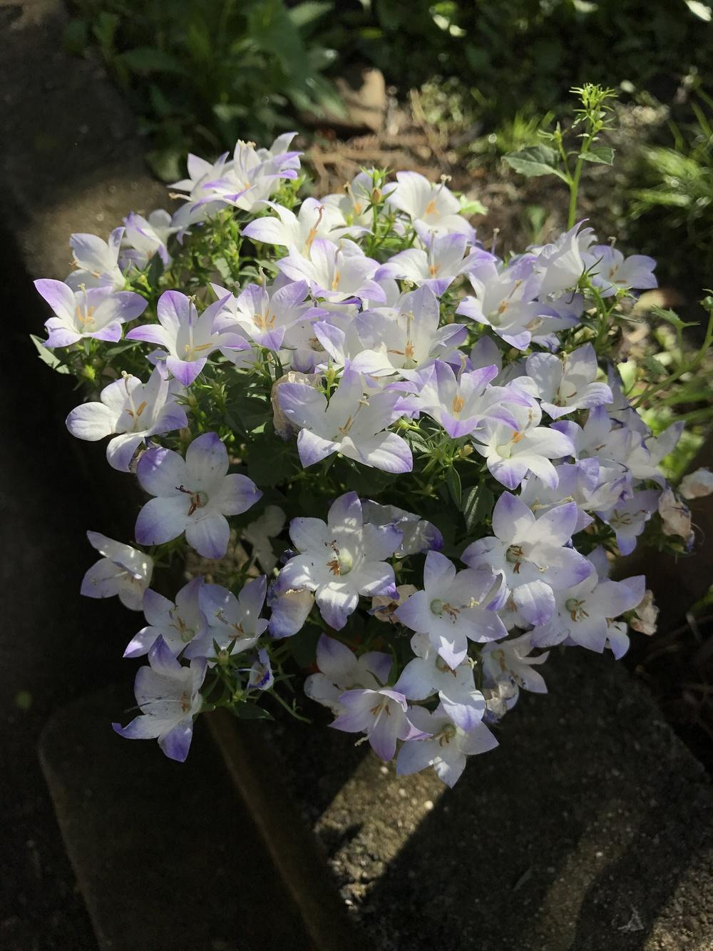 Photo of Bellflower (Campanula Fancy MEE®) uploaded by bxncbx