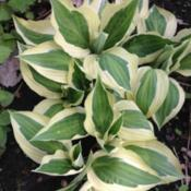 Location: Apple Valley MNDate: 2017-05-14Hosta Hanky Panky