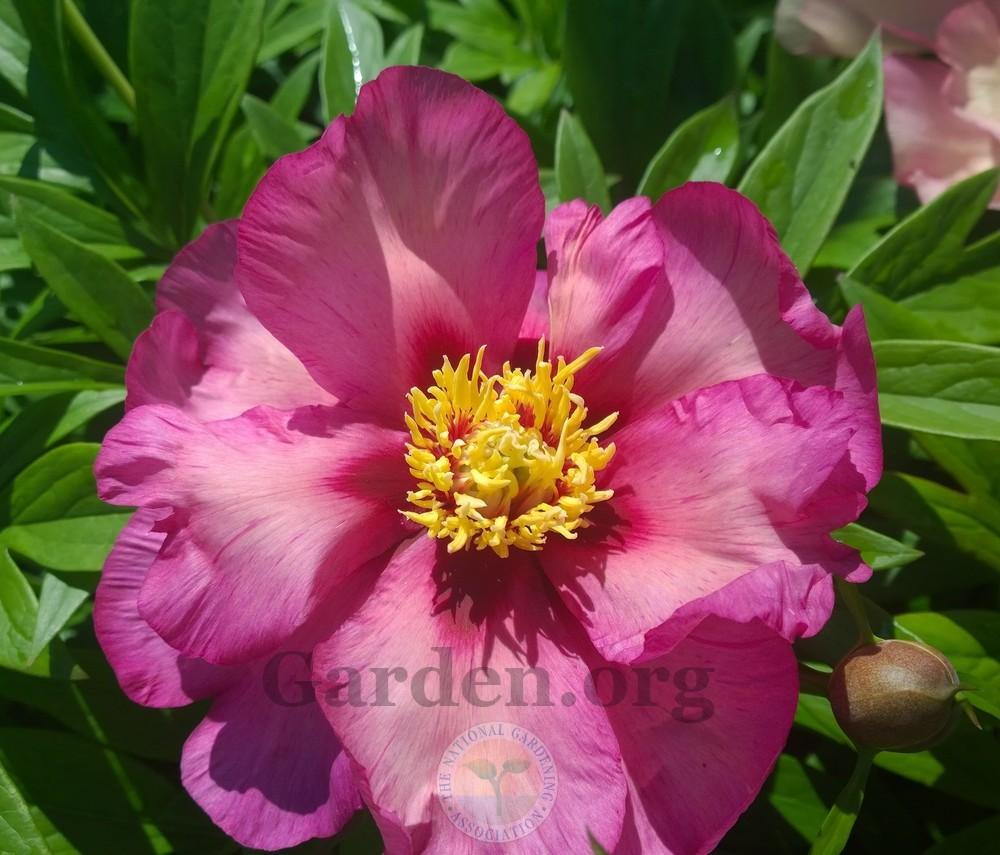 how to grow peonies from bulb