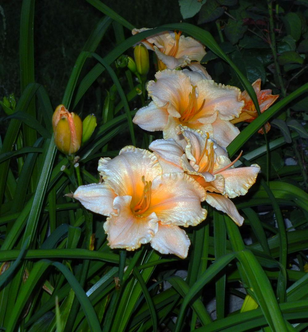 Photo of Daylily (Hemerocallis 'Pure and Simple') uploaded by jrbales