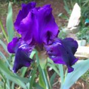 Location: Back yardDate: 2017-05-14First bloom of any iris this year