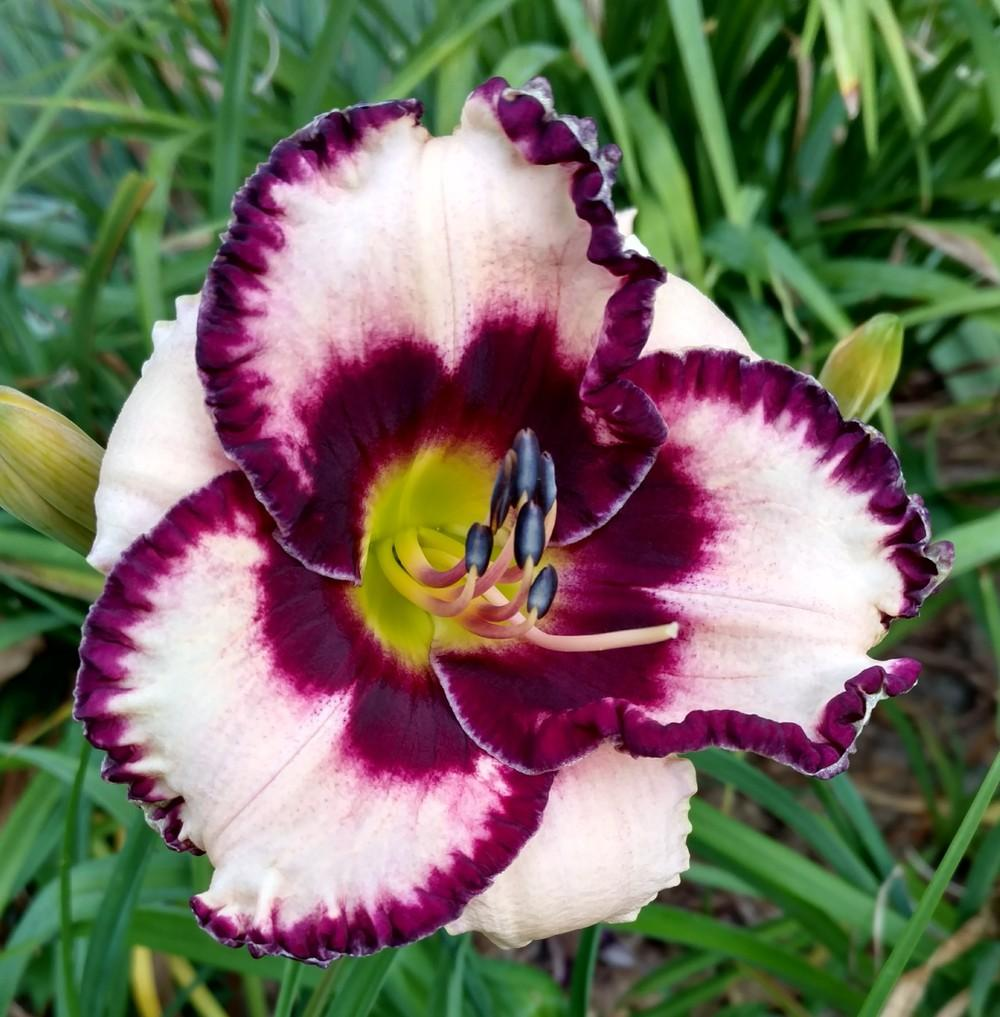 Photo of Daylily (Hemerocallis 'Dark Reflection') uploaded by sarahbugw