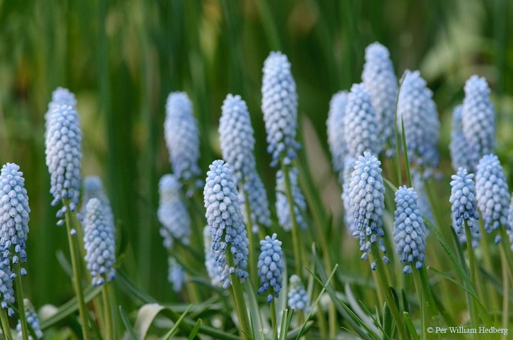 Photo of Blue Bottle (Muscari neglectum 'Baby's Breath') uploaded by William