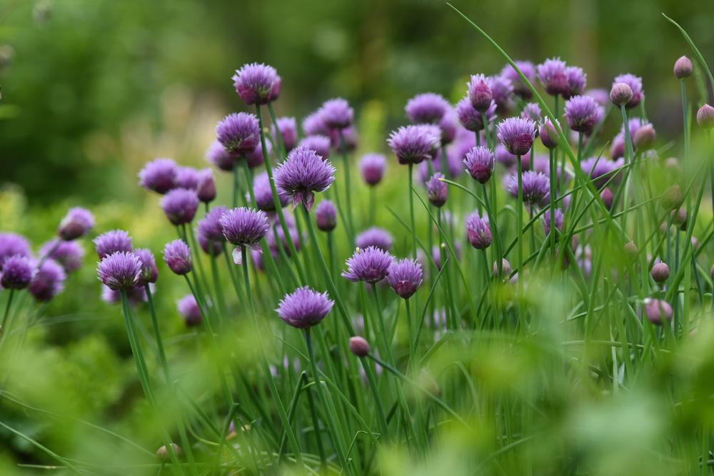 Chives entire plant