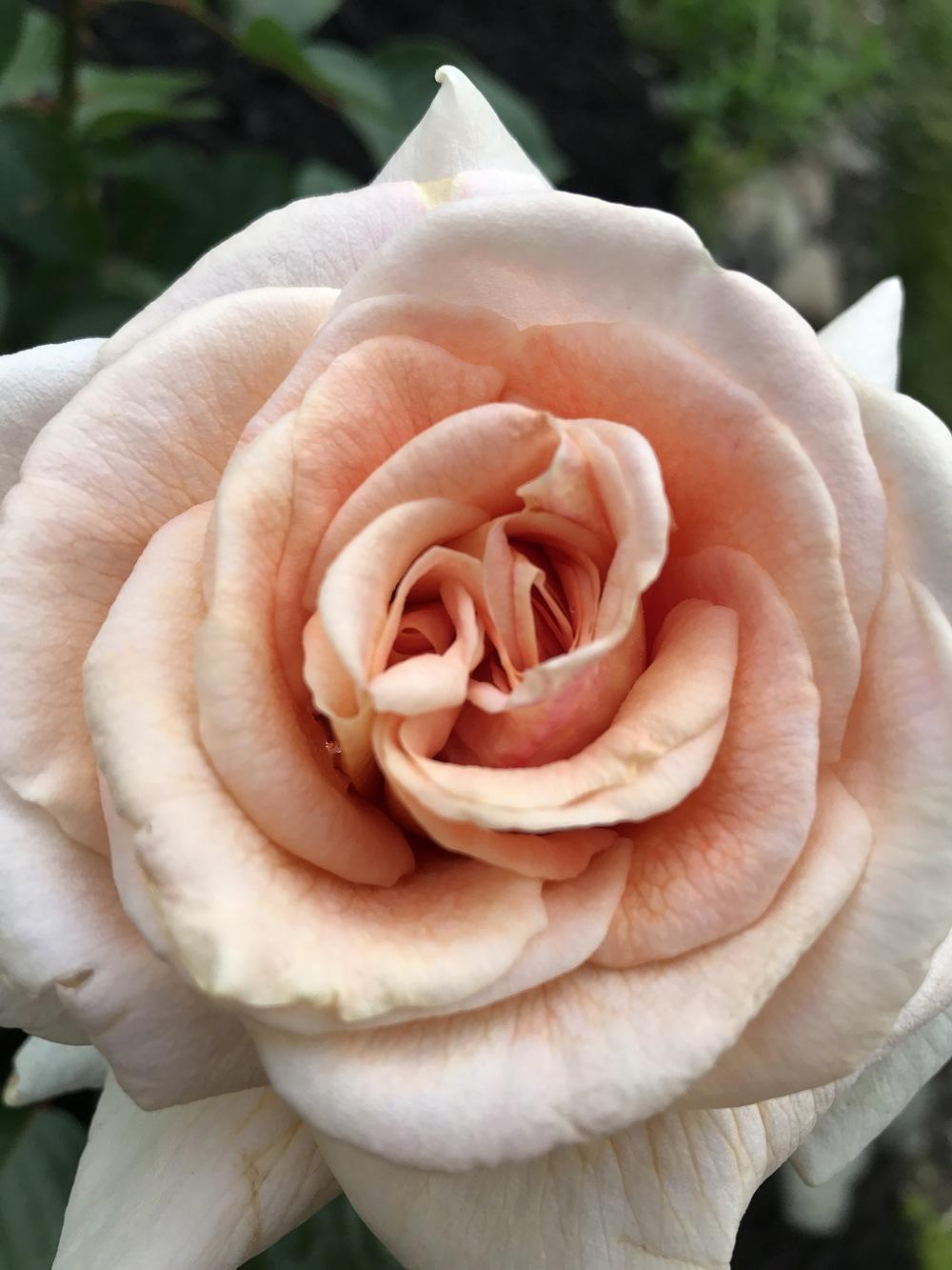 Photo of Rose (Rosa 'Apricots n' Cream') uploaded by Michelezie