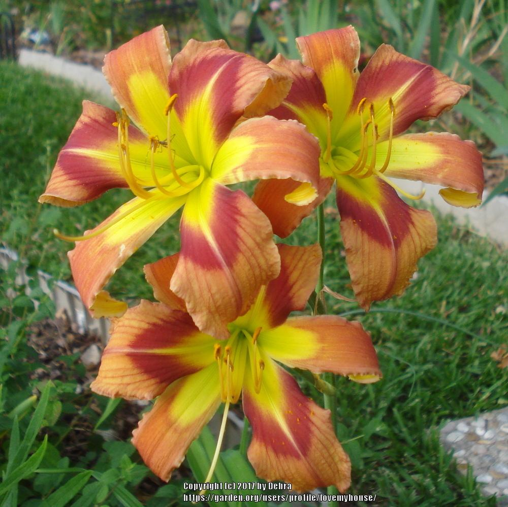 Daylilies plant care and collection of varieties garden izmirmasajfo