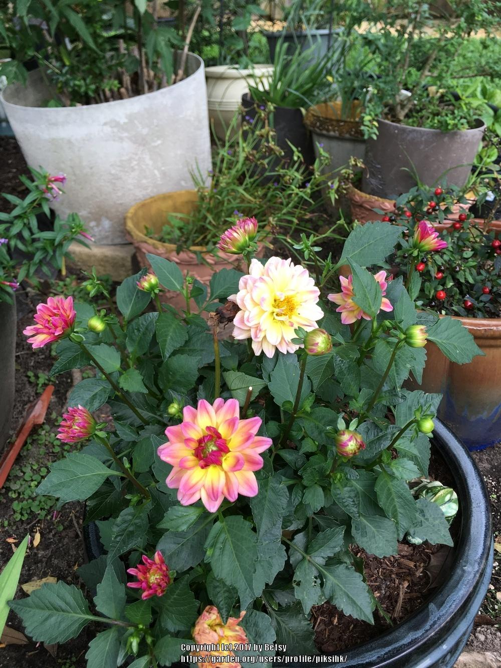 Photo of Dahlias (Dahlia) uploaded by piksihk