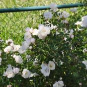 Location: Prescott, AZDate: 2017-05-21Prosperity Blooms Against a Fence