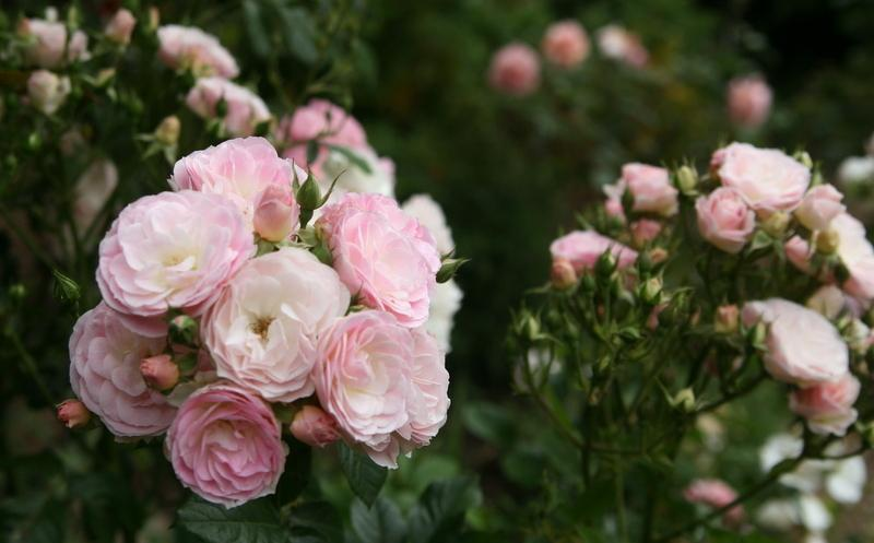 Photo of Rose (Rosa 'Bouquet Parfait') uploaded by Calif_Sue