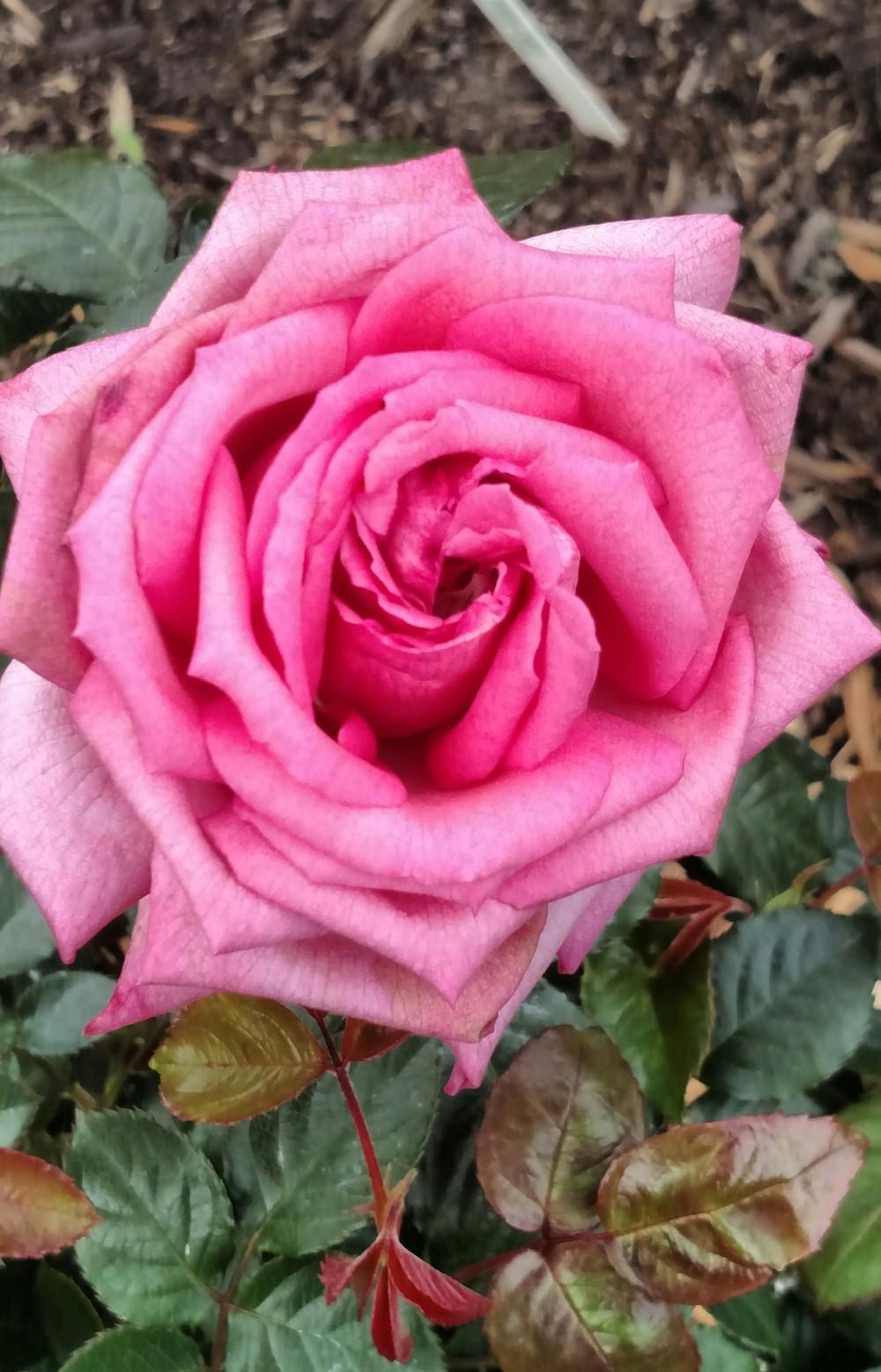Photo of Rose (Rosa 'Wedding Bells') uploaded by Sarafoot
