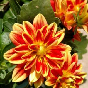 Bright, cheerful flowers; prolific blooms.