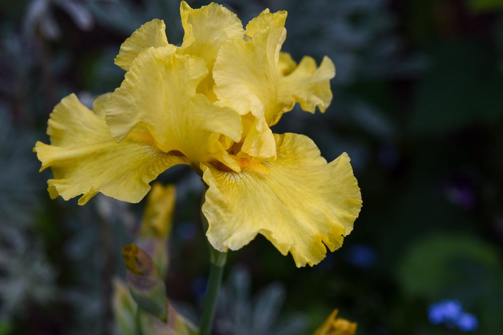 Photo of Tall Bearded Iris (Iris 'Golden Immortal') uploaded by cliftoncat