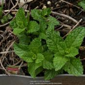 Location: My backyard in Allentown, PADate: 2017-05-23Sweet Mint begins its second year in my backyard on 23 May 2017.