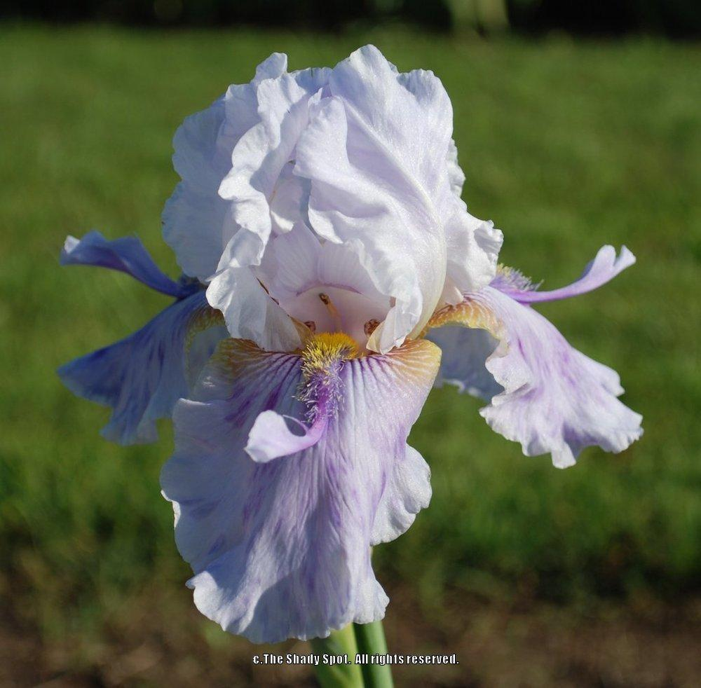 Photo of Tall Bearded Iris (Iris 'I'm So Confused') uploaded by lovemyhouse