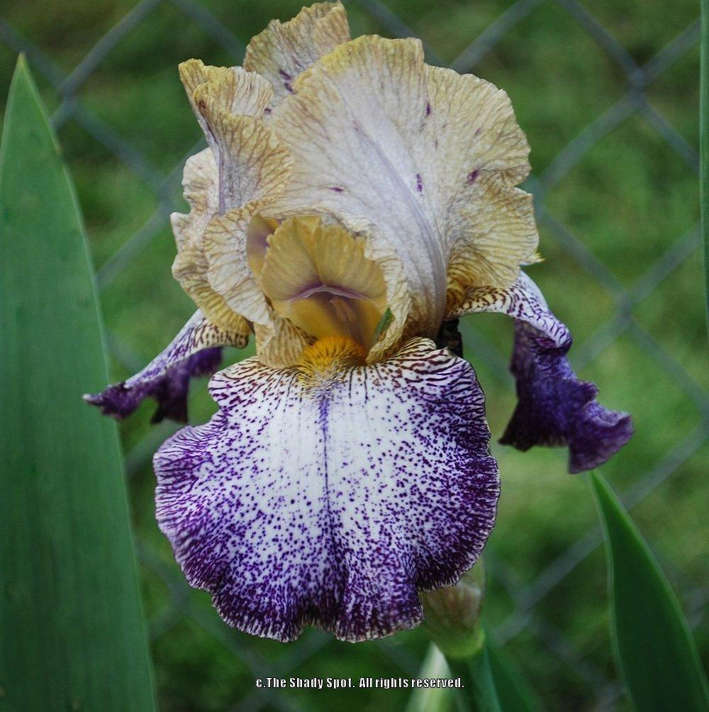 Photo of Tall Bearded Iris (Iris 'Dots and Splashes') uploaded by lovemyhouse