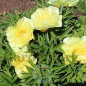 Location: Adelman's Peony Garden, Salem, ORDate: 2017-05-22Full sun, 91 degrees F 32.7 degrees C
