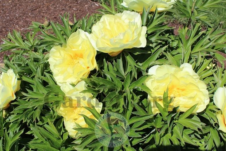 Photo of Intersectional Peony (Paeonia 'Bartzella') uploaded by HighdesertNiki