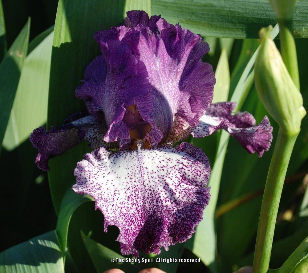 Photo of Tall Bearded Iris (Iris 'Autumn Explosion') uploaded by lovemyhouse
