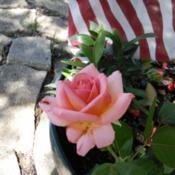 Location: My garden, Grapevine, TXDate: Memorial weekend 2017Perfect container rose