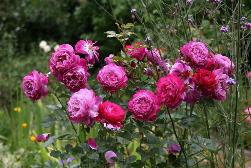 Photo of Rose (Rosa 'Wild Blue Yonder') uploaded by Calif_Sue