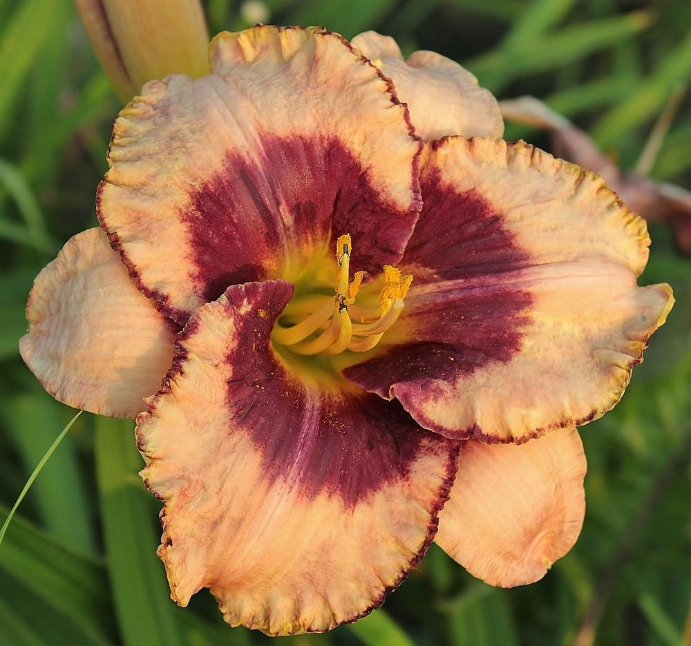 Photo of Daylily (Hemerocallis 'Daring Deception') uploaded by amberjewel