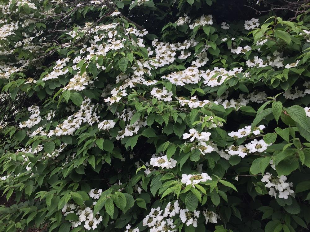 Plant id forum white flowering bush need help for White flowering bush