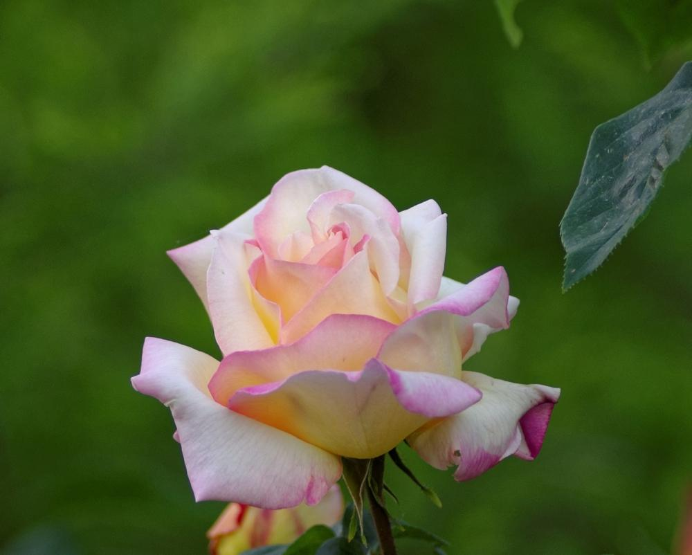 Photo of Rose (Rosa 'Peace') uploaded by evermorelawnless