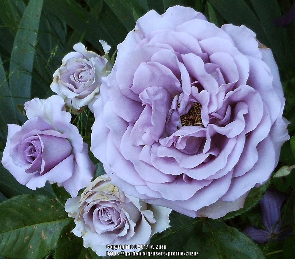 Photo of Rose (Rosa 'Quick Silver') uploaded by zuzu