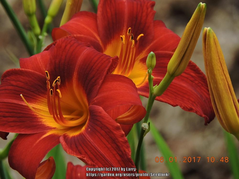 Photo of Daylilies (Hemerocallis) uploaded by Seedfork