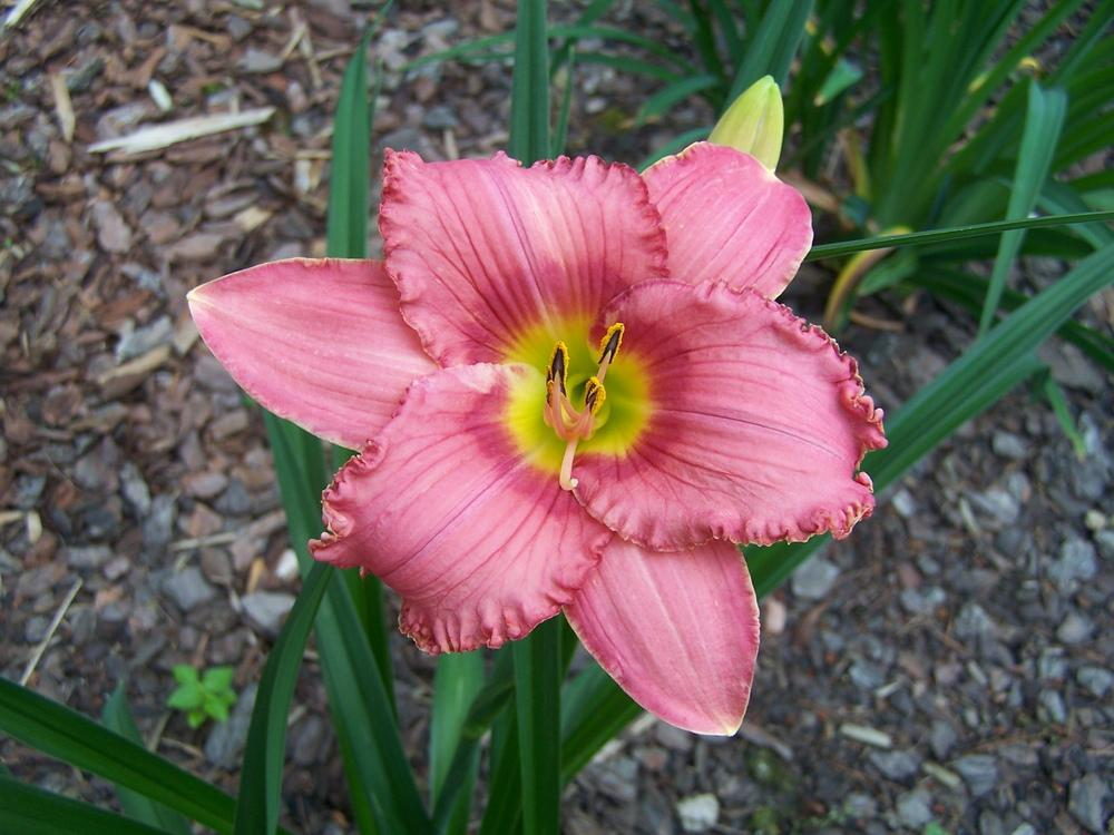 Photo of Daylilies (Hemerocallis) uploaded by petruske
