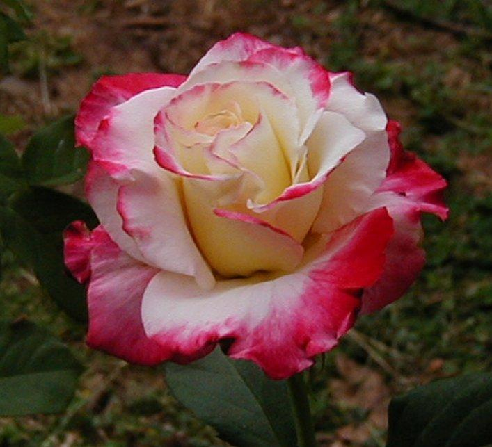 Photo of Rose (Rosa 'Double Delight') uploaded by RoseBlush1