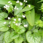 Location: Nora's Garden - Castlegar, B.C.Date: 2017-05-11 2:16 pm. A nice change for the Brunnera - white blosso
