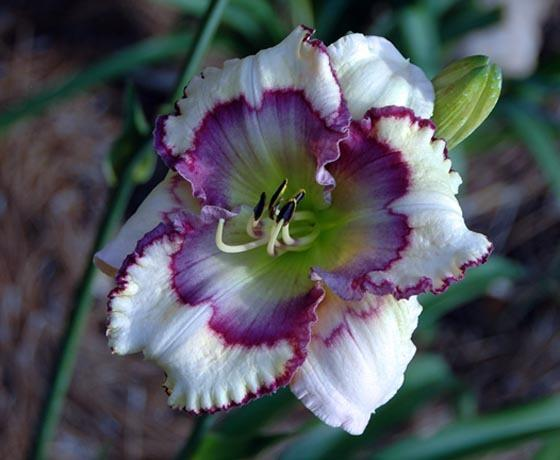 Photo of Daylily (Hemerocallis 'Stenciled Infusion') uploaded by shive1