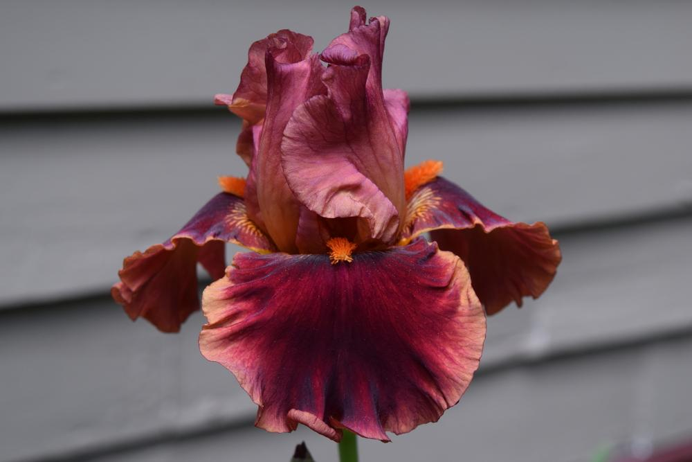 Photo of Tall Bearded Iris (Iris 'Drinks at Sunset') uploaded by Dachsylady86