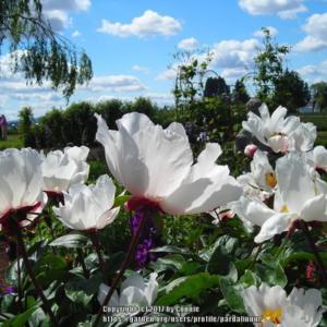 Photo taken at Adelman's Peony Gardens.