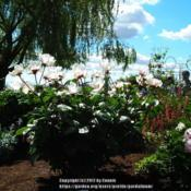 Location: Willamette Valley OregonDate: 2017-05-20Photo taken at Adelman'sPeony  Garden.