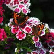 Location: Switzerland, in my gardenDate: 2017-05-30Sweet William blooms visited by Small Tortoiseshell Butterfly (Ag