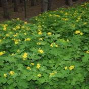 Location: My Garden, Ontario, CanadaDate: 2017-06-04Celandine naturalized along a fence on our property.