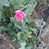 Location: Behind my house, east side.Date: 2017-06-05This rose has not been much of a bloom machine for me.