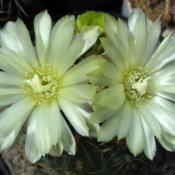 Location: From my  colection. Poland.Gymnocalycium leeanum