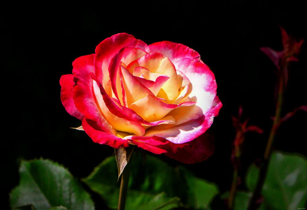 Photo of Rose (Rosa 'Double Delight') uploaded by dawiz1753
