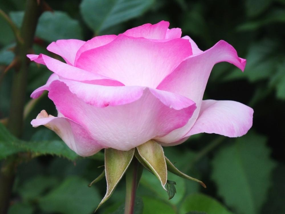Photo of Rose (Rosa 'Beverly') uploaded by sunnyvalley