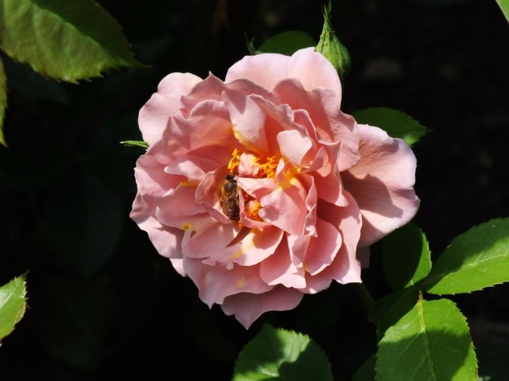 Photo of Rose (Rosa 'Lavender Pinocchio') uploaded by sunnyvalley