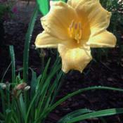 Location: Louisa, VAMy very first daylily!