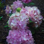 Location: Louisa, vaPink blooms now. I added spagnum peat moss to the soil,